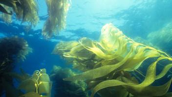 algue de mer