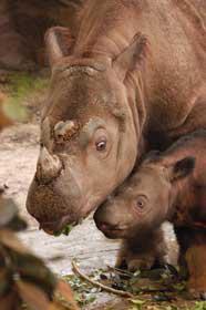 rhinoceros_sumatra