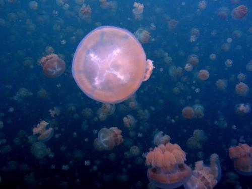 méduses_ecossaise